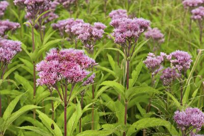 Joe-Pye Weed wild flowers, Eutrochium, growing in a field