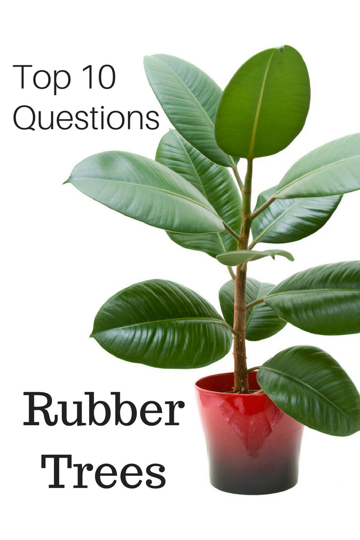 Top 10 Questions About Rubber Tree Plants - Gardening Know